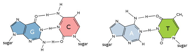 Nitrogen Bases With  Rings Are Called